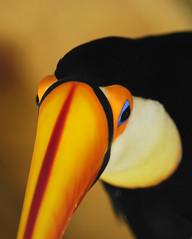 Toco Toucan (ucumari photography) Tags: bird march toucan nc nikon north d70s northcarolina carolina 2007 waterfowlpark ucumari ucumariphotography sylvanheights colorphotoaward 832507