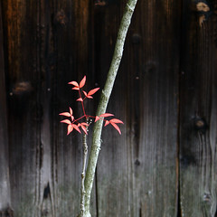 Japanese people call this art Nature (aurelio.asiain) Tags: wood winter red anna inspiration black tree art nature beautiful beauty japan temple leaf kyoto poetry branch haiku rusty minimal explore zen  present wa  meditation everything minimalistic axis montauban 2007 elemental purity taizoin hannabi  aurelioasiain ionushi  reyesheroles theasiaingallery highestposition48onsaturdayjanuary52008 margendelyodo milvistas