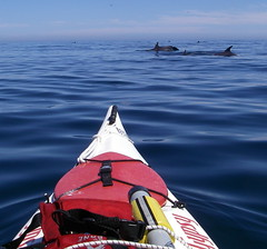 dolphins near my kayak in the Sea of Cortez