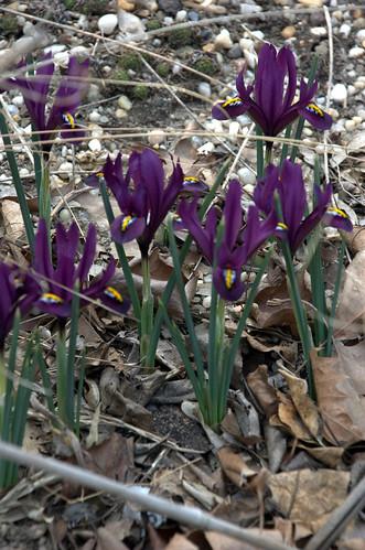 Iris reticulata, Summit Street Community Garden