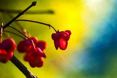 20161016_269c (novofotoo) Tags: baum bäume celastrales euonymuseuropaeus europeanspindle europäischespfaffenhütchen frucht landschaft makro mehrfarbig natur pfaffenkäppchen spindelbaumartige macro multicolored nature tree trees