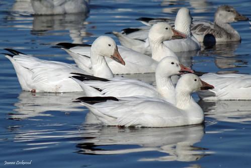Snow Geese closeup