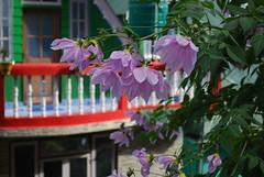 Around Darjeeling (Martyn Hird) Tags: himalayas railway india mountains dahlia flowers mahonia