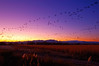 Bosque Sunset Flock in Motion (Fort Photo) Tags: abstract motion blur newmexico bird nature birds animal animals illustration landscape geese bravo wildlife flock birding 2006 aves goose bosque ave birdsinflight dynamicrange nm waterfowl ornithology dri bosquedelapache avian bif snowgeese anatidae snowgoose anseriformes chencaerulescens wildbird magicdonkey 50faves birdphoto anserinae outstandingshots specnature bestnaturetnc06 30faves30comments300views anawesomeshot colorphotoaward impressedbeauty shotsinmotion