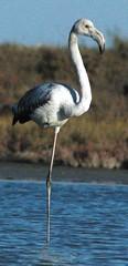 Flamingo birding cyprus akrotiri