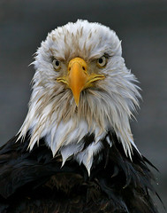 Happy New Year (Doug Lloyd) Tags: bird birds alaska bravo eagle quality baldeagle americanbaldeagle instantfave specanimal