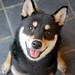柴犬:笑顔!