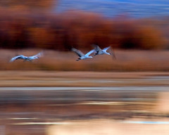 Sandhill Crane Sense of Motion (Fort Photo) Tags: motion newmexico bird birds animal bravo crane wildlife birding flight aves bosque ave birdsinflight pan nm waterfowl panning ornithology bosquedelapache impressionistic avian 2007 sandhillcrane bif gruscanadensis birdphoto animalkingdomelite artlibre flickrgold sandhillsenseofmotion handpanned