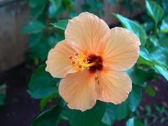 Tropical Hibiscus (dinesh_valke) Tags: flora evergreen hibiscus hibisco malvaceae hibiscusrosasinensis shrub rosemallow cayena gumamela ibisco chuchin bungaraya shoeflower chinarose tropicalhibiscus hawaiianflower chinesehibiscus dv5000 roseofchina rosadechina hawaiianhibiscus mallowfamily fusang rosedechine sembaruthi chineseroos gurhal chemparati jaswand dosniphool  jubakusumathonba    queenofthetropics hibiscuschinensis blackingplant bussoge chihchin chinesischerroseneibisch cingulu claveljapons feuilleschoublak hibiskukset jihchi khatmahsiniyah rosadellacina rusang schoensmeerplant sehempariti shoeblackplant worowari