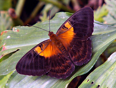 Papuan butterfly (Mangiwau) Tags: new west macro beautiful butterfly insect indonesia spectacular guinea flying insects creepy lepidoptera jungle winged papua breathtaking jaya insectes westpapua kupukupu insecta serangga keerom crawlies kupu irian rhopalocera papuan idenburg wowiekazowie coolestphotographers
