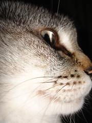 Perfil gatuno / Katuko perfila / Cat (iosebasque) Tags: macro animal cat perfil gato mascota katua