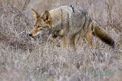 Risk is when an outcomes probability is known. Uncertainty is when an outcomes probability is unknown. (wildphotons) Tags: coyote ca paloalto foothillspark canislatrans instantfave specanimal abigfave impressedbeauty animalencountersnw