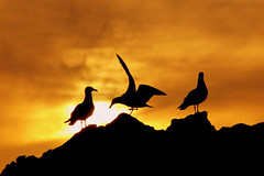 Olympic Medalists (pfflyers1) Tags: california sunset beautiful bronze silver fire gold golden big day gulls smoke silouette malibu fave perched interestingness2 medalists helluva i500 pfflyers1 funfilled abigfave impressedbeauty impressedbyyourbeauty flickrplatinum explore11jan2007