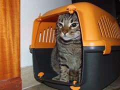 Gatto Mimmo saluta e se ne va (Gatto Mimmo) Tags: trip travel cats cat chat gato departure gatto viaggio gabbia mimmo partenza portantina cc100 gattomimmo gabbietta