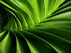 pandanus (*omnia*) Tags: plant macro tree green topf25 leaves topv111 topf50 topv555 topv333 native australia coffsharbour pandanus pc2450 auspctagged screwpine