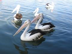 Pelicans (Princess_Fi) Tags: holiday albany westernaustralia