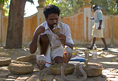 Snake Charmer with Cobras at Kochin in India (molecule Mike) Tags: india cobra snake goa charmer kochin canon24mmf14l