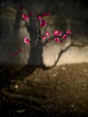 北野天満宮 Kitano-tenmangu shrine (Masahiro Makino) Tags: shadow japan kyoto shrine f14 sigma olympus ume e1 北野天満宮 梅 plumblossoms 影 30mm kitanotenmanguh