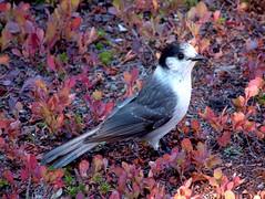 Grey Jay (eldan) Tags: usa bird washington jay hiking cascades grayjay greyjay