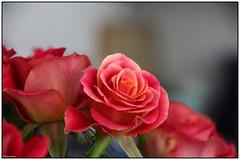 Pink rose (Dit is Suzanne) Tags: pink flowers red roses netherlands nederland canondigitalrebel groningen rood rozen bloemen roze цветы розы views150 гронинген нидерланды красныйцвет розовыйцвет 23012007 ©ditissuzanne