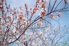 Amandier en fleurs_لوز مزهر