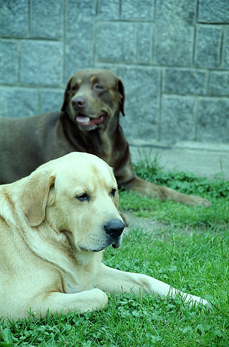 labrador photos - Freki and Benny