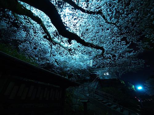 小田原城夜桜 3