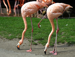 Flamingoes (C) 2006