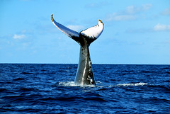Humpback Un-named #7204 Fluke 90 degrees (ScottS101) Tags: ocean ilovenature mammal nw dominicanrepublic wildlife carribean atlantic whale endangered humpback unnamed wi humpbackwhale fluke allrightsreserved cetacean type2 animalencounters rorqual ilovetheocean silverbank 7204 megaptera atlanticmatched novangliae megapteranovangliae hwc7204 unnamed7204 type2ec atlanticcatalogued flukematcher copyrightscottsansenbach2008