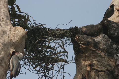 the Mynah appears near the nest (8)