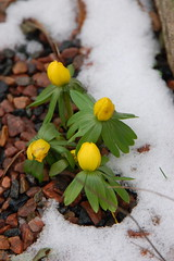 Scandanavian winter flowers