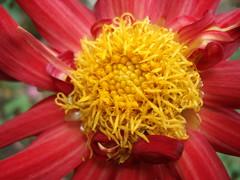 A heart of gold (rufaro) Tags: dahlia red flower nature yellow garden stamen
