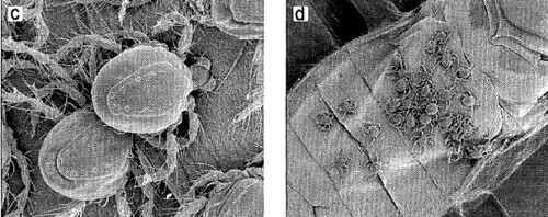 phoreticmites