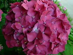 Hydrangeas in my Cirali garden taken last