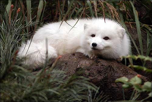 arctic_fox3