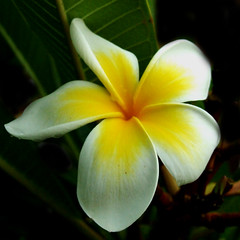 yellow frangipani (Vanessa Pike-Russell) Tags: flowers macro nature yellow bestof plumeria vibrant photoshopped australian australia images elite nsw frangipani mostinteresting faves portfolio popular 2007 wollongong myfaves lightroom s9600 mootrade superbmasterpiece diamondclassphotographer flickrdiamond vanessapikerussell auselite