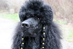 my birthday (darleen2902) Tags: birthday dogs poodle standardpoodle blackdogs darleen