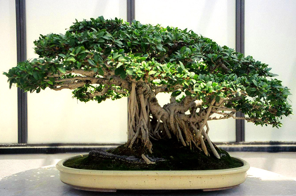 A Tiger Bark Ficus (Ficus retusa) bonsai. From the Collection of the National Bonsai and Penjing Mueseum at The United States National Arboretum.