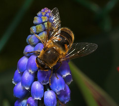"""Dronefly (eristalis tenax)(3) • <a style=""""font-size:0.8em;"""" href=""""http://www.flickr.com/photos/57024565@N00/413654570/"""" target=""""_blank"""">View on Flickr</a>"""