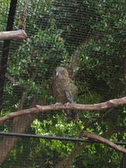 Kea (parrot)