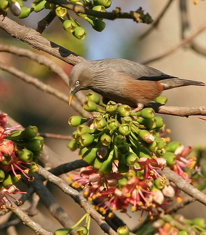 Chestnut-Tailed Starling Lalbagh 12 Mar 07
