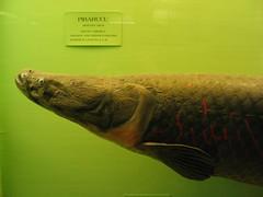 Pirarucu