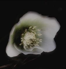 Fallen Flower (Kirsten M Lentoft) Tags: white flower spring christmasflower naturesfinest momse2600 kirstenmlentoft
