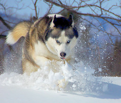 zowie snowcrashing (paul+photos=moody) Tags: dog snow home snowshoe bravo husky vermont searchthebest zowie siberian mybackyard bestinshow naturesfinest abigfave anawesomeshot superbmasterpiece wowiekazowie goldstaraward