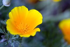 Californian Poppy (McDeez) Tags: flowers orange flower yellow poppy getty gettycenter californianpoppy californian