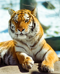 A_MG_6799_BronxZooTigerPortrait_jopix (Defining Imagery) Tags: portrait snow color animals rock vertical closeup asian outside outdoors daylight intense dangerous day looking watches fierce stripes watching exhibit tigers looks bronxzoo felines daytime wintertime mammals siberiantiger striped bigcats eyesopen frontpaws lookingatcamera