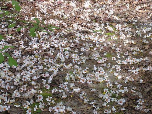 CrabAppleLane Tung Nut fallen blooms