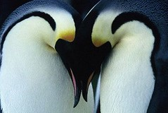 Penguin courtship