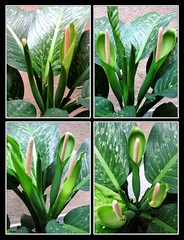 Dieffenbachia does flower!