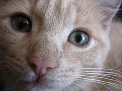 Close up (Marie-Elen Lauzire) Tags: pet face animal cat nice chat great yeux